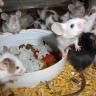 rodentscorner